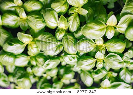 Thickly sown Seedlings Basilica One month's motes organic texture of fresh greens. Concepts of Vocal