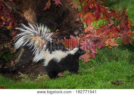 Striped Skunk (Mephitis mephitis) Looks Right Near Autumn Log - captive animal