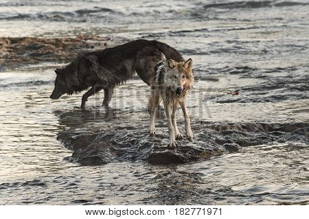 Grey Wolf (Canis lupus) Licks Chops in River - captive animals