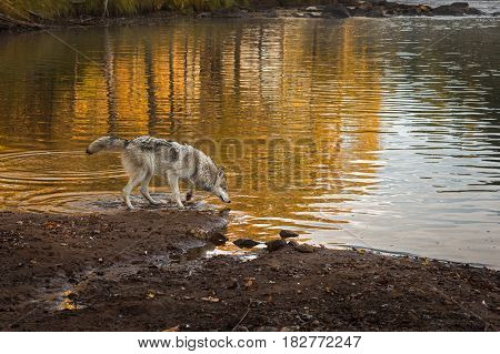 Grey Wolf (Canis lupus) Looks Into River - captive animal