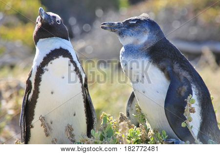 Two african penguins is staying next to each other. Boulders Beach in Cape Town, South Africa.