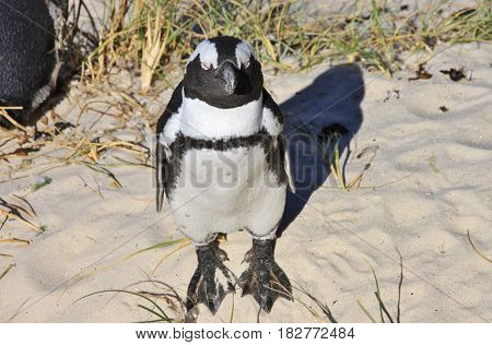 African penguin is taking sunbath. Boulders Beach in Cape Town, South Africa.