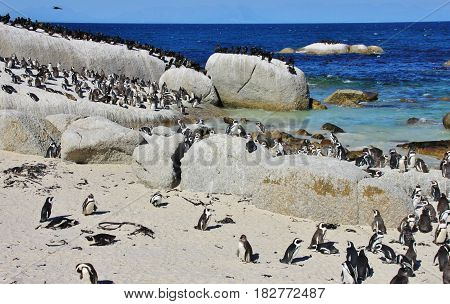 Group of African penguin on Boulders Beach in Cape Town, South Africa