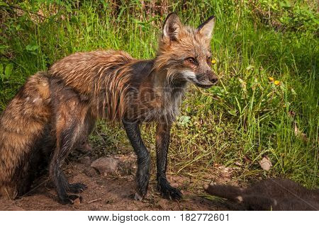 Red Fox (Vulpes vulpes) Vixen With Kits Milling About - captive animals