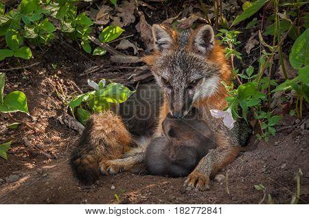 Grey Fox (Urocyon cinereoargenteus) Vixen Sits With Kit - captive animals