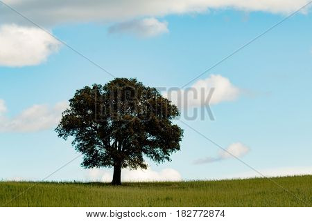 Beautiful landscape with a lonely holm oak in the meadow
