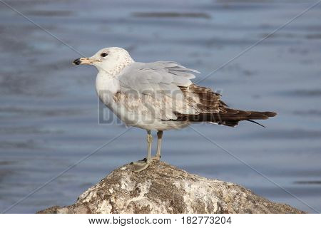 A ring billed gull resting on a rock near a lake.