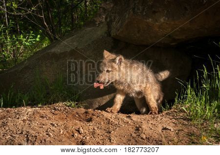 Grey Wolf (Canis lupus) Pup Emerges From Den With Meat - captive animal