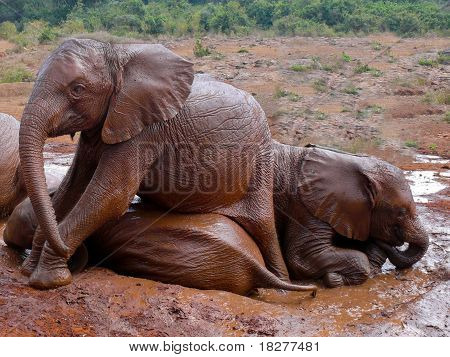 Baby Elephants Taking A Mud Bath In Kenya.
