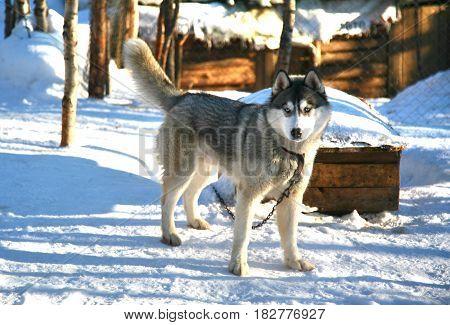Siberian husky in Husky park , Murmansk Russia
