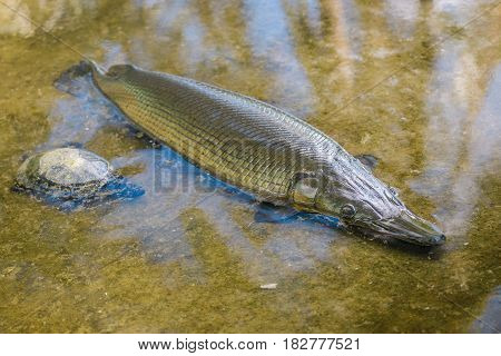 Alligator gar fish.The fish is also known for its ability to survive outside the water, being able to last for up to two hours above the surface.