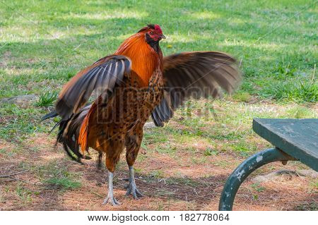 A pretty red rooster shows off his wing flapping abilities as he seems to stare down a park bench