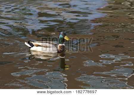 Mallard (Anas platyrhynchos) drake swimming in water with reflections in a Town Canal
