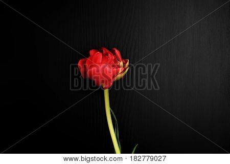 One red tulip on a black surface a vintage toning