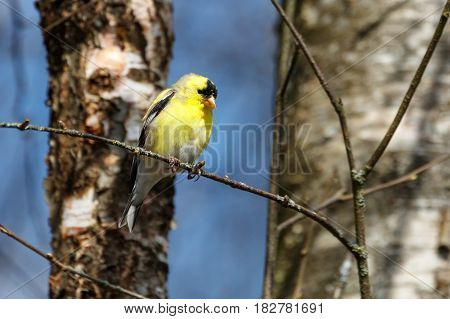 a American Goldfinch at Vancouver BC Canada