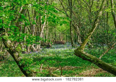 View of bluebells in the Essex woods in spring
