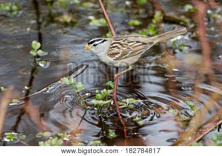 white crowned sparrow at Vancouver BC Canada
