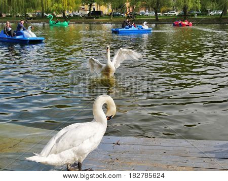 CLUJ-NAPOCA ROMANIA - APRIL 17 2017: People pedal swan boats while white swans preen themselves on the dock in central park lake.