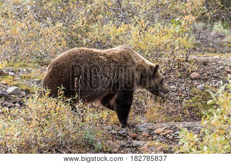 a grizzly bear in Denali National Park Alaska in fall