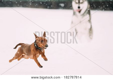Two Funny Dogs Play Together. Funny Dog Red Brown Miniature Pinscher Pincher Min Pin And Husky Playing Outdoor In Snow, Winter Season. Playful Pet Outdoors.