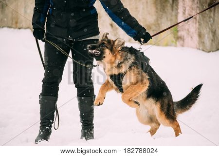 Training Of Purebred German Shepherd Young Dog Or Alsatian Wolf Dog. Attack And Defence. Winter Season
