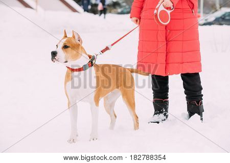 Beautiful Dog American Staffordshire Terrier Standing In Snow Near Woman Feet At Winter Day