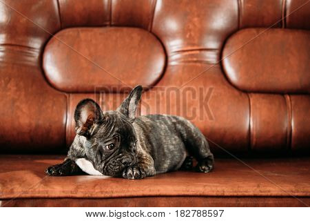 Young Black French Bulldog Dog Puppy With White Spot Sit On Red Sofa Indoor. Funny Dog Baby