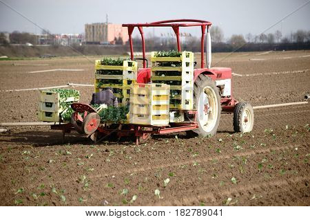 Workers sit on a tractor with a trailer and put white cabbages in the fresh furrows of a field.