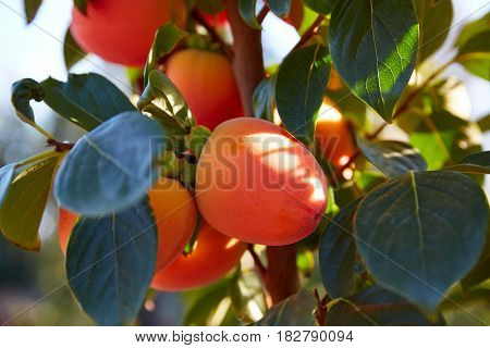 Persimmon fruits in trees field agriculture at Spain