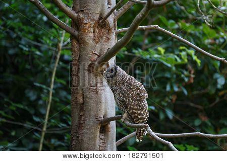 juvenile barred owl at Vancouver BC Canada