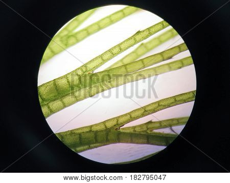 Aquatic plant cell under the microscope view