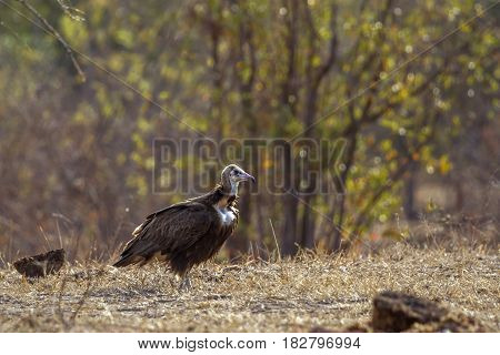 Hooded vulture in Kruger national park, South Africa ; Specie Necrosyrtes monachus family of Accipitridae
