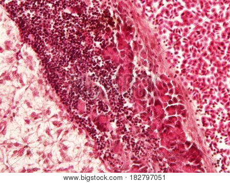 Liver animal tissue under microscope view Histology of liver.