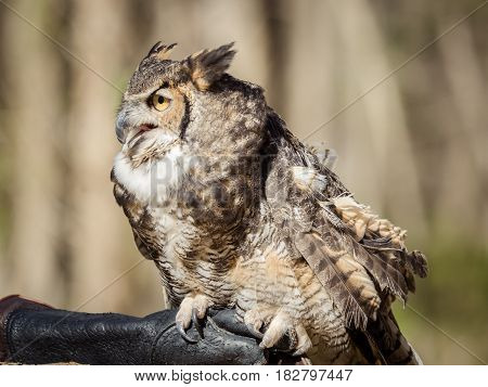 Great-Horned Owl in a rehabilitation program at a wildlife center