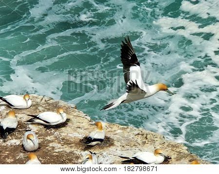 Australasian Gannet in flight over nesting colony, Muriwai,Auckland, New Zealand