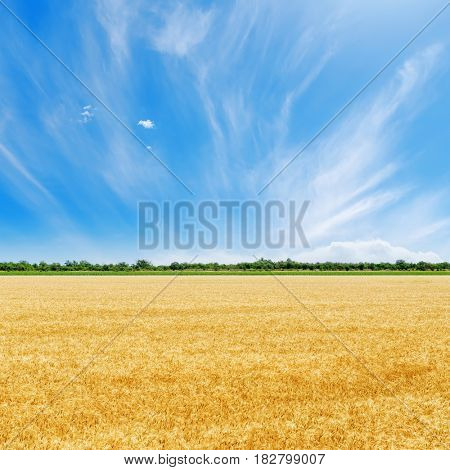 golden field with crop and blue sky