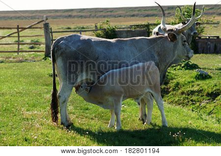 Maremmana cow on pasture with calf sucking on udder, Tuscany, Italy