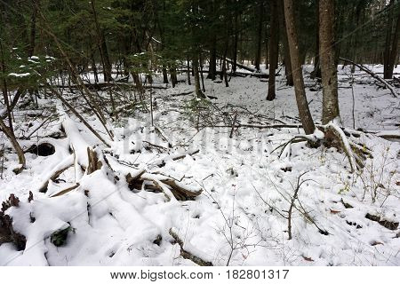 Fresh snow covers fallen logs on the forest floor in the Richard H. and Lydia Naas Raunecker Preserve in Harbor Springs, Michigan during November.