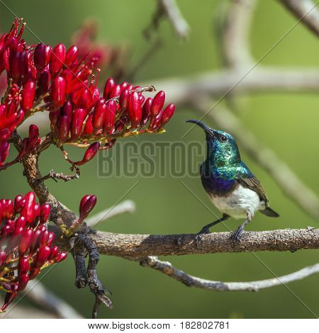 White-breasted sunbird in Kruger national park, South Africa ; Specie Cinnyris talatala family of Nectariniidae