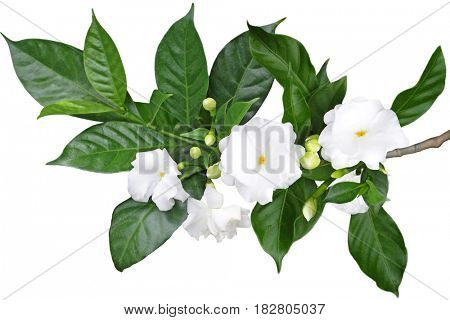 Tabernaemontana divaricata Crape Jasmine, Pinwheel Flower isolated on white background