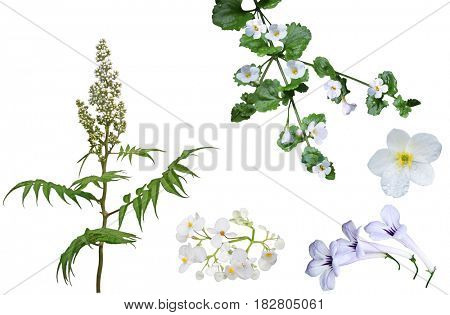 Set of white false spirea Sorbaria sorbifolia Bud, Anemone piperi and Bacopa Scopia