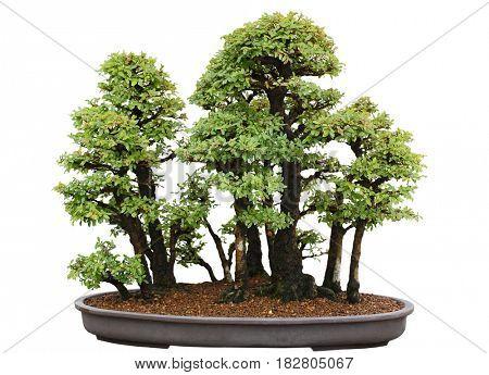 Ulmus davidiana nire Japanese elm bonsai tree isolatd on white backgroud