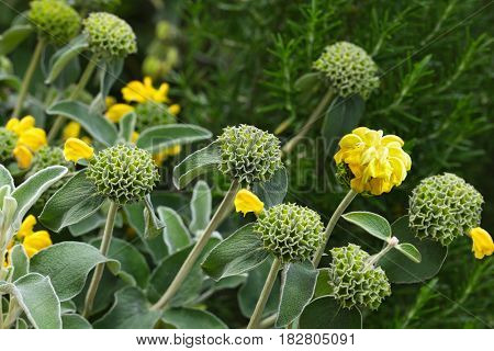 Phlomis Edward Bowles shrub with whorls of yellow flowers and silver leaves
