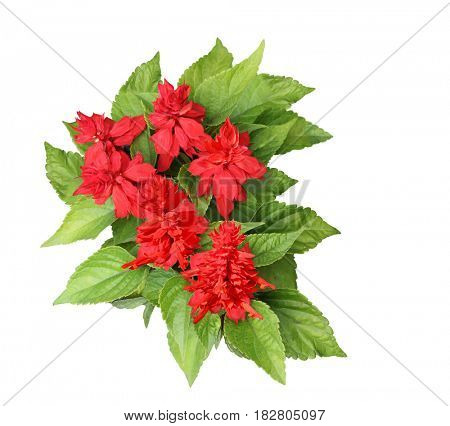 Salvia Vista bonfire red flower isolated on white background