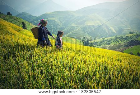 Mother and Daughter Hmong working at Vietnam Rice fields on terraced in rainy season at Mu cang chai Vietnam. Rice fields prepare for transplant at Northwest Vietnam
