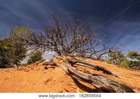 Long roots lead to a gnarly tree in the desert.