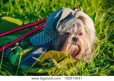 Shih tzu dog tourist style with cap and backpack at summer field