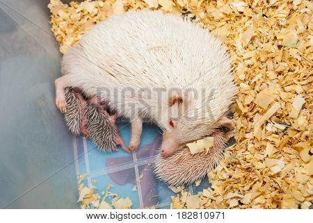White Hedgehog Feeding Its Babies In Plastic Bucket [atelerix Frontalis]