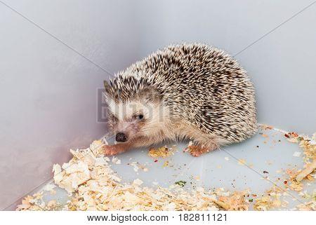 Brown Hedgehog In Plastic Bucket Corner [atelerix Frontalis]