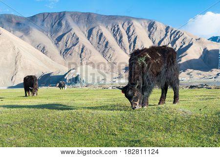 Xinjiang, China - May 21 2015: Yak At Karakul Lake. A Famous Landscape On The Karakoram Highway In P